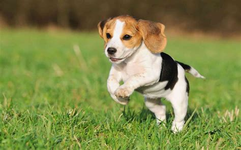 puppy jumping beautiful beagle puppy jumping wallpapers and images wallpapers pictures photos