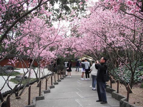 cherry blossom festival sydney cherry blossom festival 2017 sydney