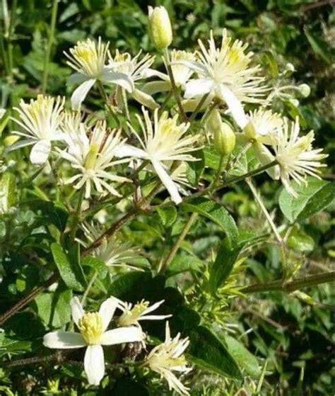clematis fiore di bach clematis il fiore di bach per radicare centrare e stare