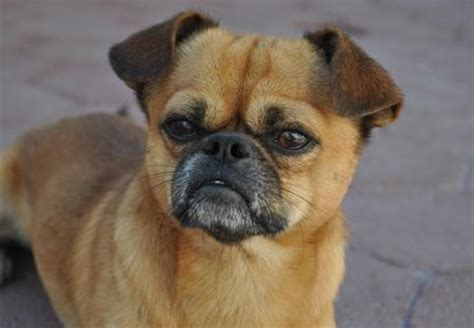 pug chihuahua mix price pug mix with chihuahua breeds picture