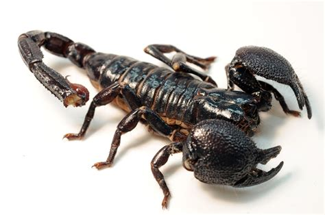 file female emperor scorpion jpg wikimedia commons