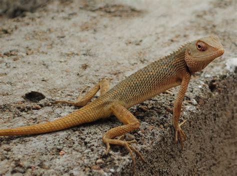 Garden Lizard file garden lizard jpg wikimedia commons