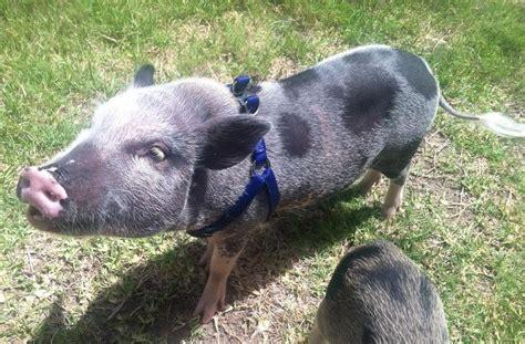 Do Pigs Shed blowing coat mini pig shedding faq