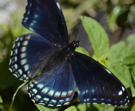 wallpaper black butterfly blue and black butterfly 1 widescreen wallpaper