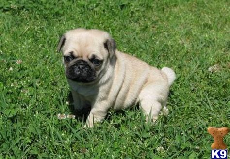 pug rehoming pug puppies for rehoming 28394