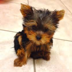 tea cup yorkie hair cuts my teacup baby yorkie i want a puppy pinterest