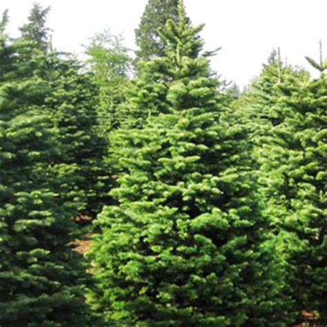 Beautiful Pinery Christmas Trees #2: Product_NobleFir01_pinery.jpg