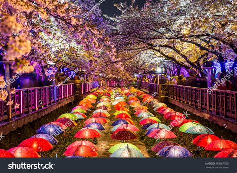 South Korea Address Search Cherry Blossoms At In Busan South Korea Stock Photo 268667555