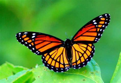 arti dari tato kupu kupu arti mimpi kupu kupu arti dari mimpi