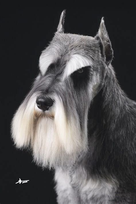 schnauzer hair styles 51 best images about terrier grooming hairstyles on
