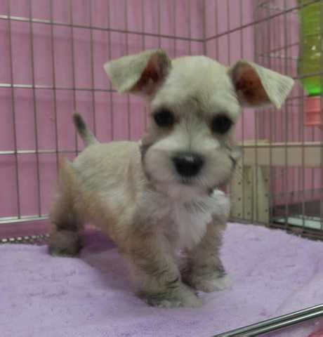 mauzer puppies mauzer puppies for sale for sale adoption in singapore adpost classifieds