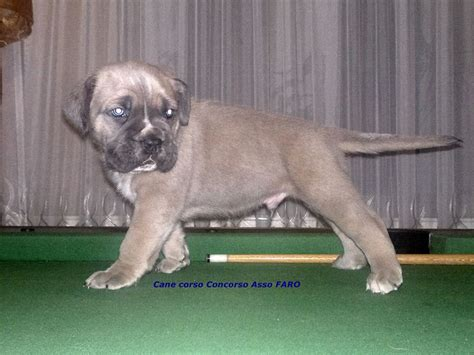corso puppy for sale corso puppies for sale uk breeds picture