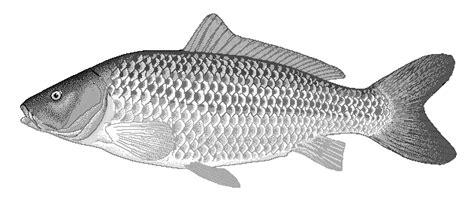 common carp clipart animals aquatic fish c carp common