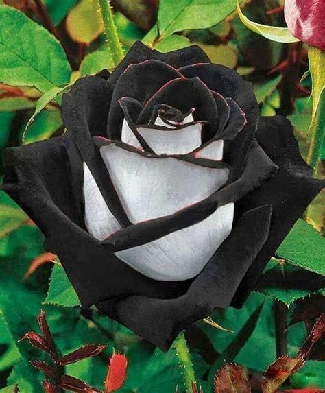 fiore raro la meravigliosa rosa nera un fiore raro cresce nel