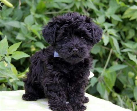 yorkie poodle mix for adoption ready for adoption terrier yorkie poodle breeds picture
