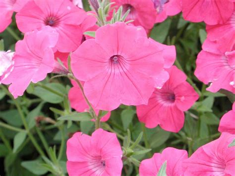 petunia tidal wave hot pink annual flower research at bluegrass lane