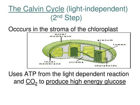 What Are The Products Of Light Dependent Reactions by Ppt Photosynthesis Powerpoint Presentation Id 5637500