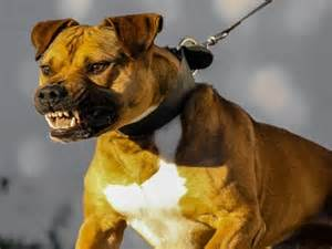 AMERICAN STAFFORDSHIRE TERRIER AGRESSIF - YouTube