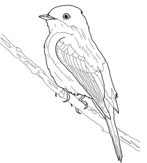 eastern bluebird coloring page western bluebird coloring page eastern bluebird coloring