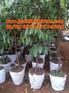 Bibit Durian Bawor Sarno murah jual bibit durian unggul medan h tovix