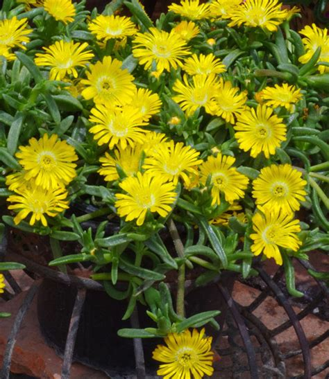 Baldur Garten Winterharte Pflanzen by Winterharte Eisblume Gelbe Peridot 1a Pflanzen Baldur