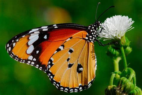 tigre y mariposa imagenes galer 237 a de im 225 genes mariposas tigre