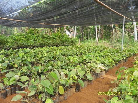 Jual Bibit Lada Perdu Di Bogor jual jual bibit merica perdu bibit lada perdu berdaun 6 lokasi purworejo jawa tengah harga