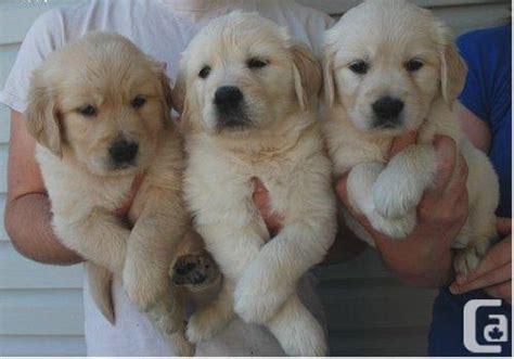 golden retrievers for sale ontario golden retriever for sale in belleville ontario classifieds canadianlisted