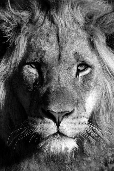 imagenes de leones a blanco y negro un giovane ritratto maschio del leone in bianco e nero la