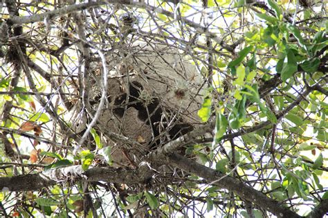 What Of Bees Make Paper Nests - we re not bees if you please agrilife today