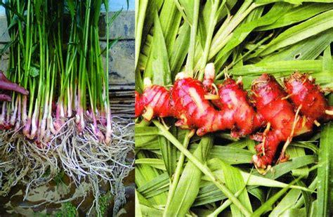 Tanaman Jahe Kebo daftar tanaman obat lengkap beserta gambar dan khasiatnya