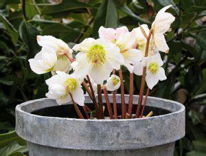 rosa di natale in vaso 10 fiori da balcone invernali