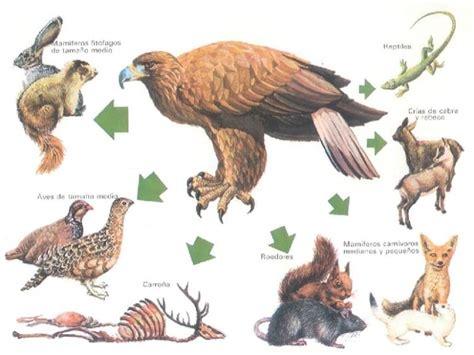 cadena alimenticia la animales cadena alimenticia www avesrapaces wiki