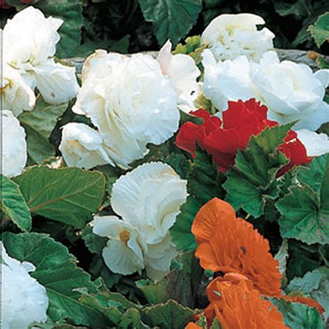 deer resistant non stop begonia white
