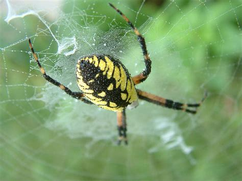 Garden Spider Poisonous by Yellow Garden Spider Flickr Photo