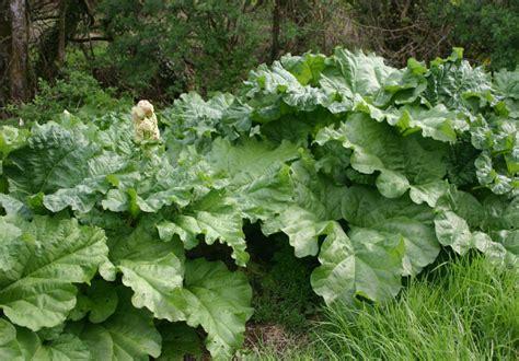 Planter De La Rhubarbe by Rhubarbe Culture De La Rhubarbe Jardinage Bio