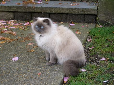 cat mix file strathcona siamese mix cat 3730 jpg