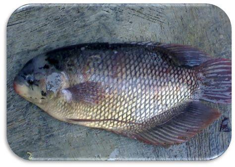 Harga Benih Ikan Bawal 2016 budidaya pembenihan ikan konsumsi ikan air tawar