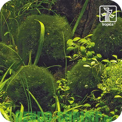Pflanzen G Nstig Kaufen 126 by Mooskugel 3 4 Cm G 252 Nstig Kaufen Rendo Shrimp Shop