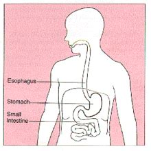 esophagus and stomach diagram oesophagus simple the free encyclopedia