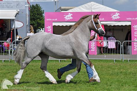 section a welsh pony welsh section d mare flickr photo sharing