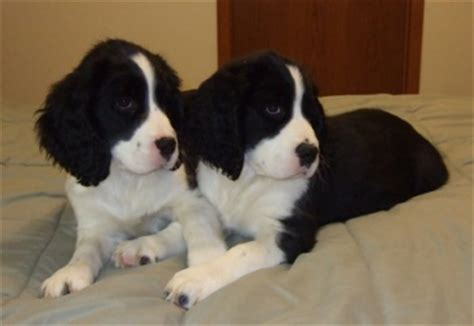 bench dogs for sale bench english springer spaniel puppies for sale 28