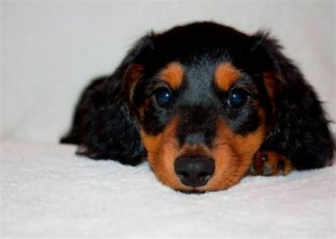 puppies for sale kalamazoo 17 best ideas about dachshund puppies for sale on dachshund puppies