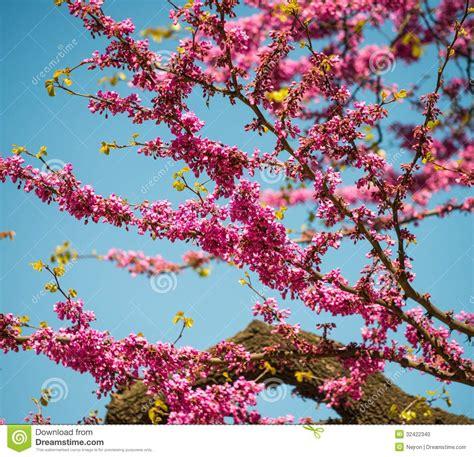 purple flowers on tree stock photo image 32422340