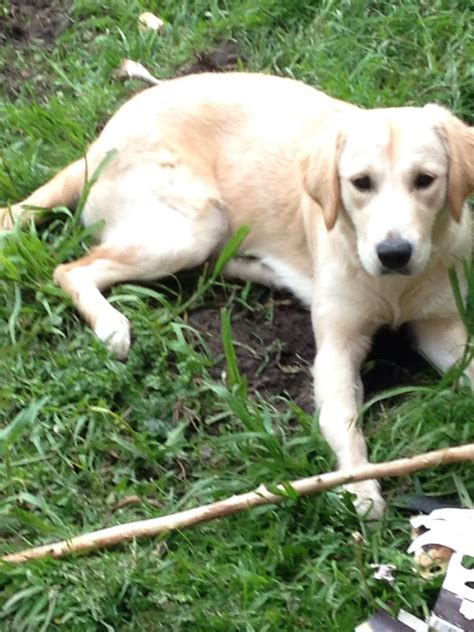 9 month golden retriever 9 month golden retriever manchester greater manchester pets4homes
