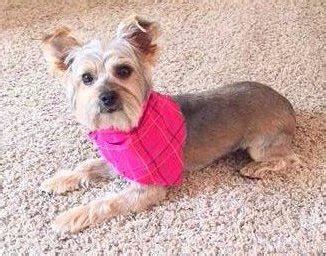 bald yorkie different yorkie haircut styles terrier information