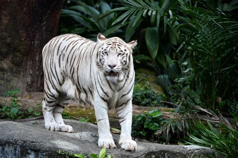 White Zoo singapore zoo s white tiger dies 5 things about omar and