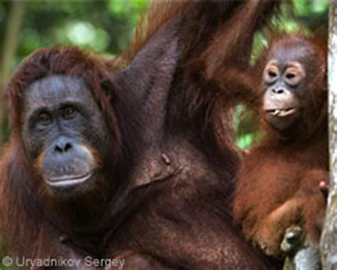 orangutans for sale wildlife conservation society email for sale black
