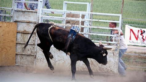 and bull bucking bulls draw crowds and dollars new hshire radio