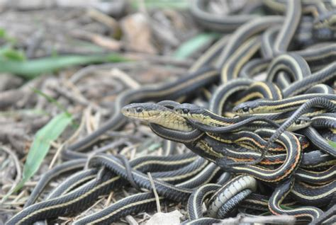 sex frenzies  good  male snakes   orgies leading  ageing  early death